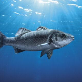 Cromaris Sea Bass
